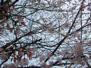 春のおとずれ 桜五分咲き~っ