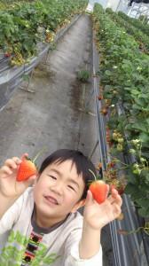 松山北条で「イチゴ狩り」